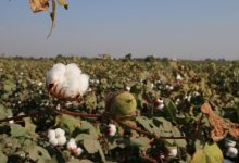 Photo of By Opting For Drip Irrigation, Cotton Farmers Can Save Water And Reap Profits
